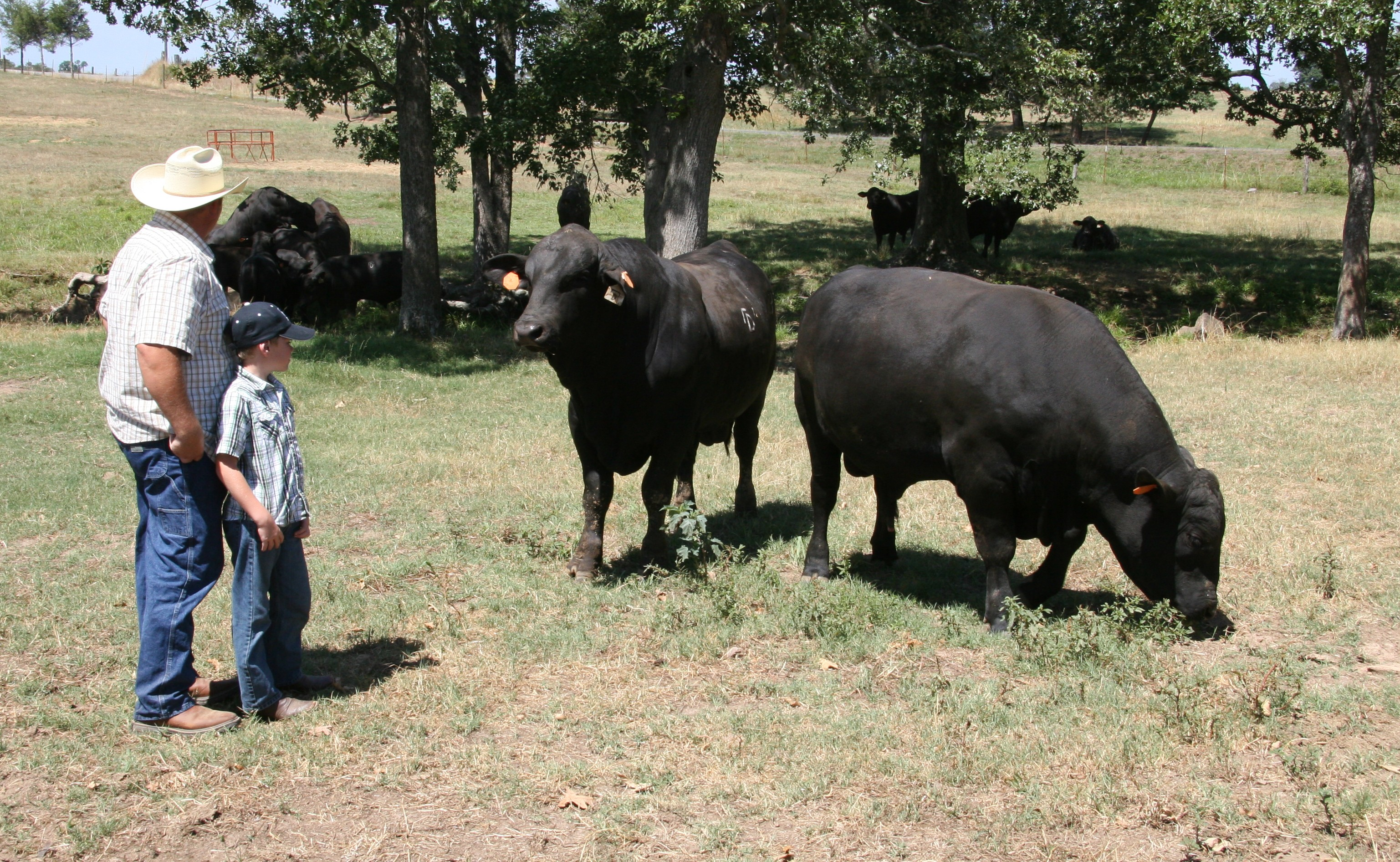 Big D Ranch Ultrablack Bulls Phillip DeSalvo